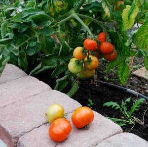 tomater i vaxthuset fagerdala tradgard katinkas kitchen