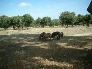 cerdo-iberico (13)